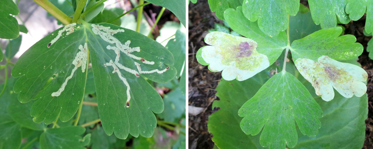 Serpentime mines on columbine leaves created by Phytomyza aquilegivora (L) and blotch mines of P. aquilegiana (R).
