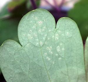 Adult leafminer feeding punctures on columbine leaf.