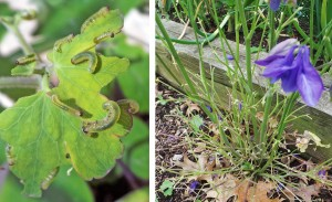 When columbine sawfl ies are numerous (L), damage can be dramatic (R).