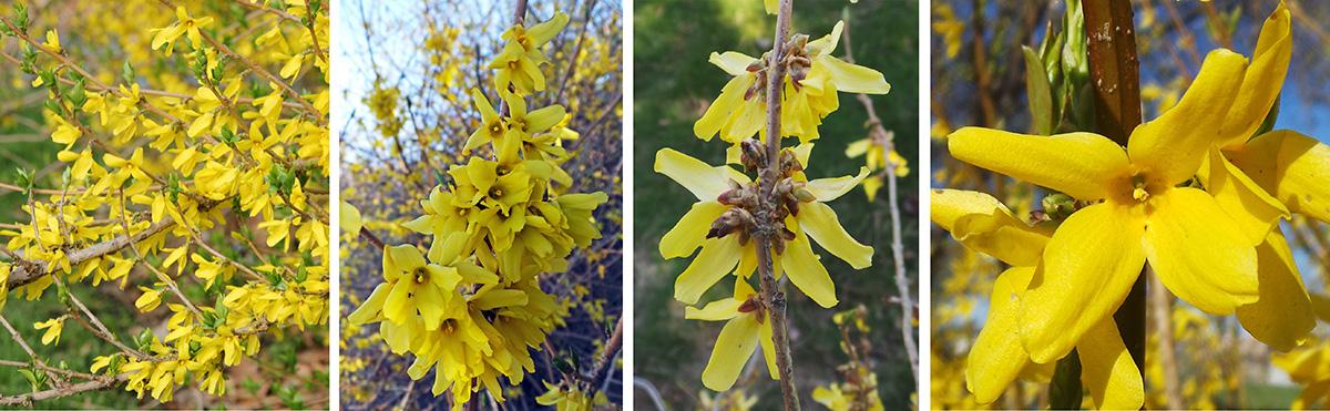 forsythia, forsythia spp.  master gardener program, Beautiful flower