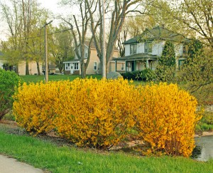 Forsythia is stunning in spring.