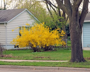 Forsythia is a common landscape plant in the Midwest.