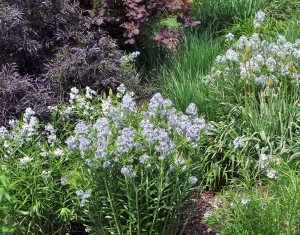Willowleaf bluestar combines well with other perennials or with shrubs in a mixed border.