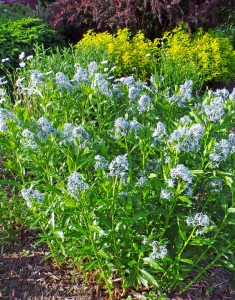 Grow Amsonia tabernaemontana in full sun and avoid over-fertilization to keep the plants from flopping.