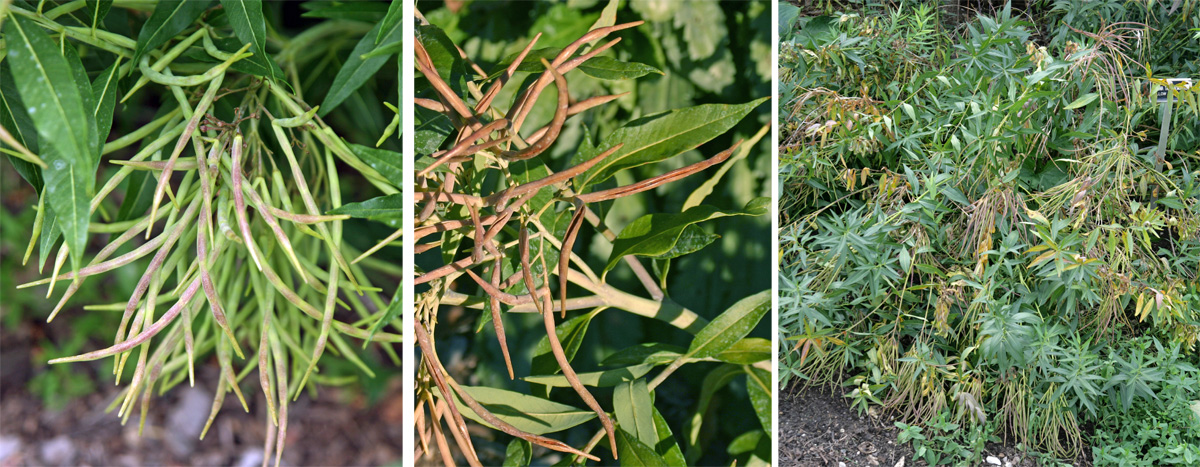 Flowers are followed by clusters of seed pods (L) that eventually split to release the seeds (C). The heavy seed pods cause the plant to flop (R), so are best deadheaded to improve the plants appearance and reduce reseeding.