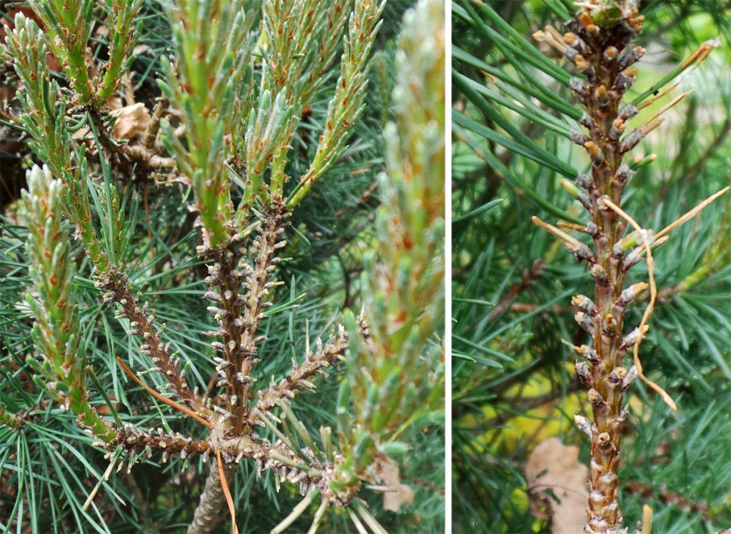 European pine sawfly larvae feed only on the old needles of many types of pines.