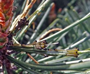 Young larvae feeding on old needles.