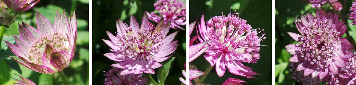 The pink to red or white flowers have 5 petals and long stamens.