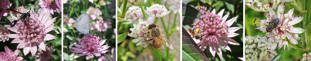 The flowers attract wasps (L), butterflies (LC), honeybees (C), native bees (RC), and flies (R) among others.