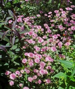Astrantia major in bloom.