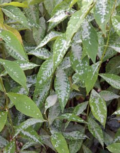 Powdery mildew is common on many garden plants.