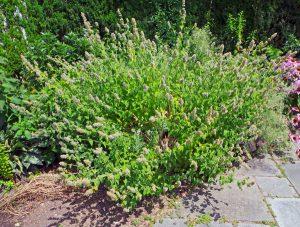Catnip is a vigorous, but short-lived, herbaceous perennial.