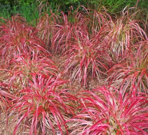 Garden pyrotechnics master gardener program the red foliage of fireworks fountain grass provides an explosion of color in the mightylinksfo
