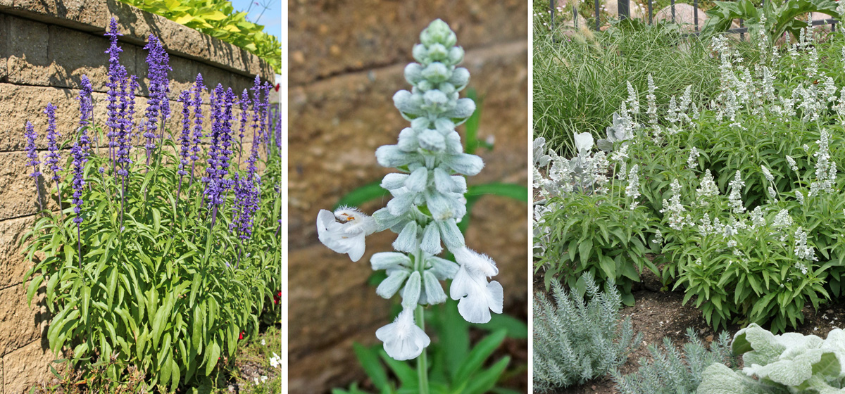 'Victoria Blue' (L) and 'Victoria White' flowers (C) and planting (R).