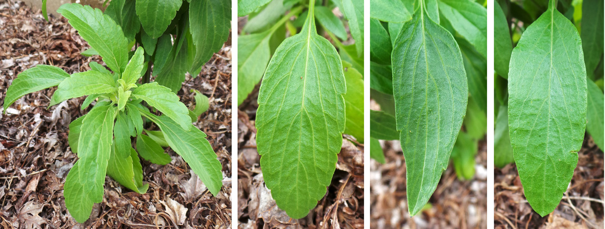 The glossy leaves grow in clusters (L); leaf margins vary from serrate (LC), to partially toothed (RC), to entire (R).