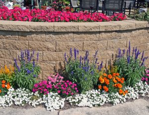 Use mealycup sage for vertical interest in annual plantings.