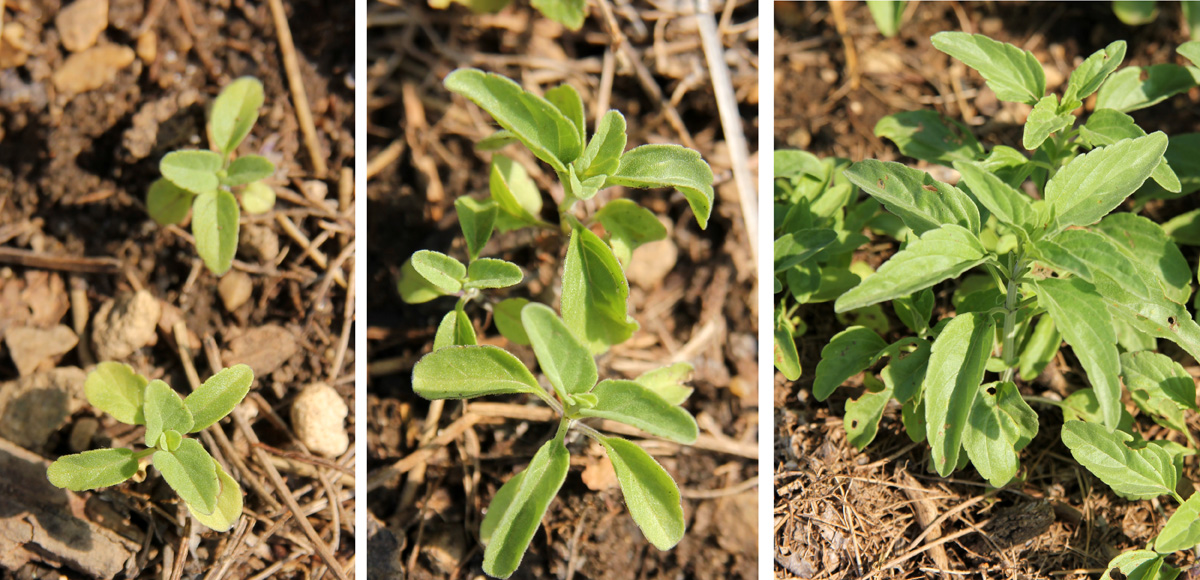 Self-seeded Salvia farinacea in spring.