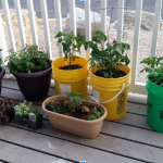 vegetables growing on patio