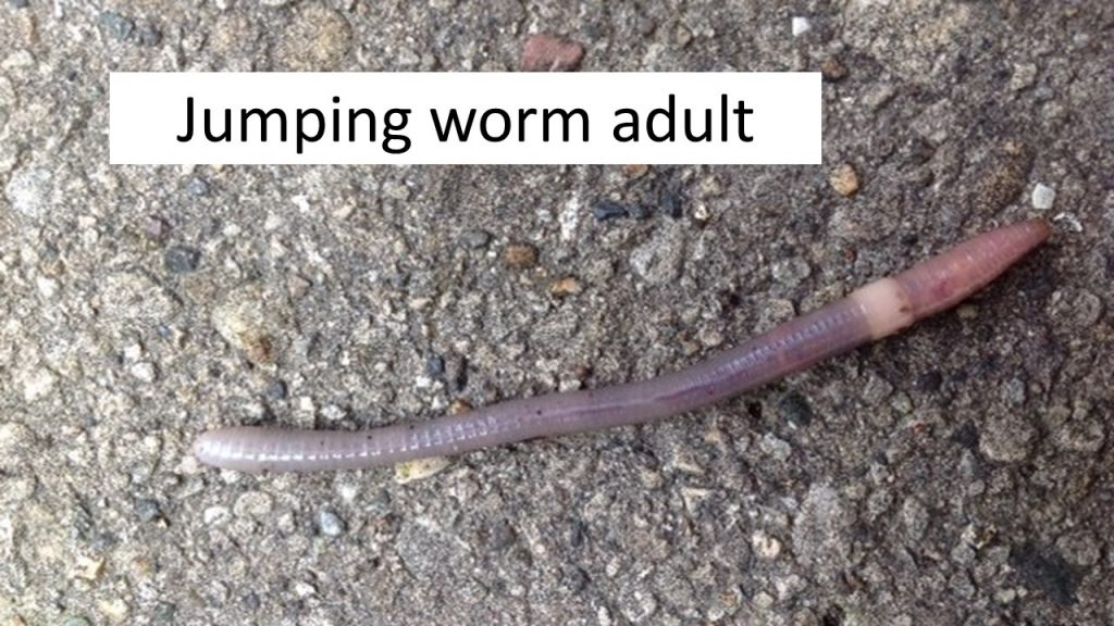 Jumping worm