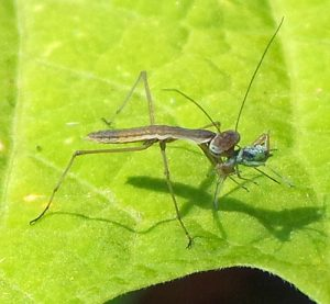 Mantids begin eating whatever they can catch as soon as they hatch; this one is feeding on an aphid.