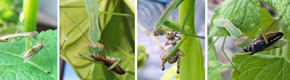 Mantids eating (L-R) a leafhopper, caterpillar, grasshopper and horse fly.