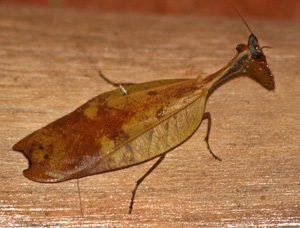 This Costa Rican mantid mimics a dead leaf.