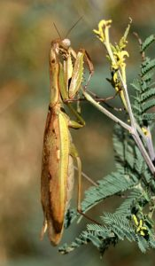 A mantid poised to capture prey.