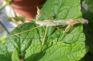 A mantid sheds its skin as it grows.