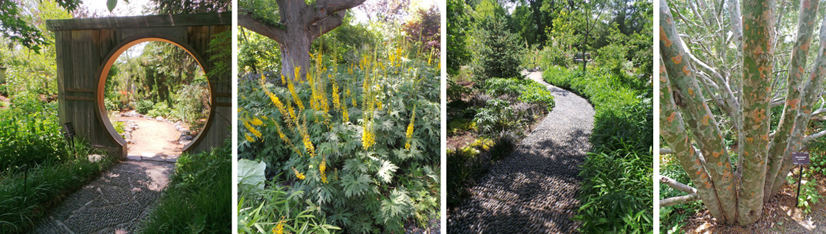 June's PlantAsia has two moon gates (L), many Asian plants including yellow-flowering Ligularia przewalskii (L) and lacebark pine, Pinus bungeana (R), on winding paths created from small stones set on edge (R).