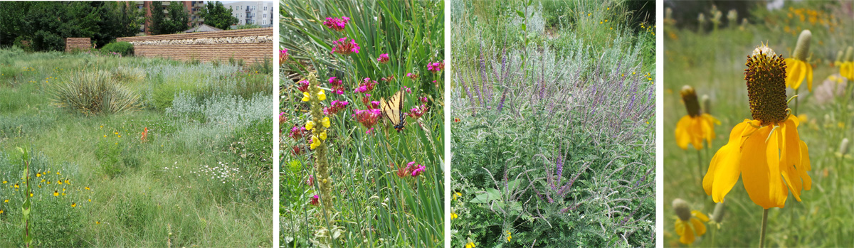 The Laura Smith Porter Plains Garden has lots of grasses (L) with local native wildflowers (LC) including lead plant, Amorpha canescens (RC) and Mexican hat or upright prairie coneflower, Ratibida columnifera (R).