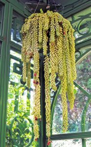 A container of burro's tail in the small conservatory of the Victorian secret garden at the Denver Botanic Garden.