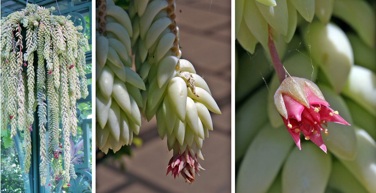 Terminal flower clusters (L and C) have small, pink to red, star-shaped blossoms (R).