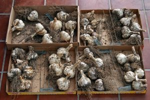 Allow garlic bulbs to dry in a well-ventilated area for a few weeks to cure, then clean.