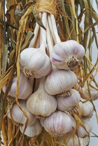 Knowing when to harvest garlic can be difficult.