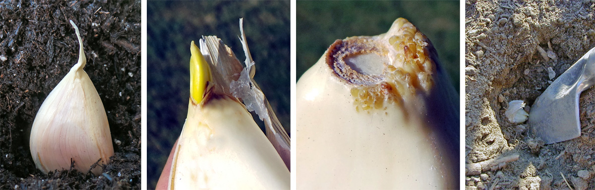 Plant the individual garlic cloves with the pointed side up (L), as this is where the shoot will emerge (LC). The basal plate at the bottom is where the roots will emerge (RC). Place the bulbs several inches deep in the soil (R).