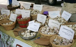 There are hundreds of varieties of garlic.