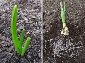 Fertilize garlic when the shoots are 4-6 inches tall (L). Even though there is little foliage, there is a large root mass (R).