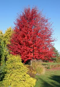 Autumn Blaze® maple is a fast-growing tree with brilliant fall color.