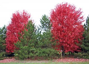 Leaves turn a brilliant red-orange in fall.
