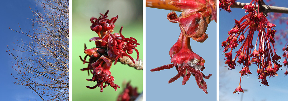 If it blooms at all, this maple flowers in early spring before leafing out (L), with inconspicuous red or green flowers in dense clusters (LC and R) which may be female, male, or both (RC).