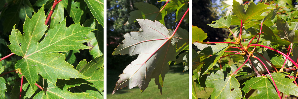 The deeply cut palmate leaves are a medium green (L), with a silvery underside (C) and often red petioles (R).