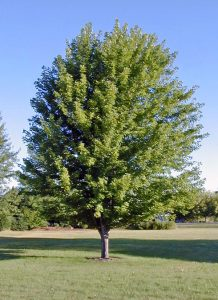 Autumn Blaze® maple grows 40-60 feet tall.