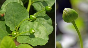 The edible caper is the unopened flower bud, picked when still dark green and the size of a corn kernel.