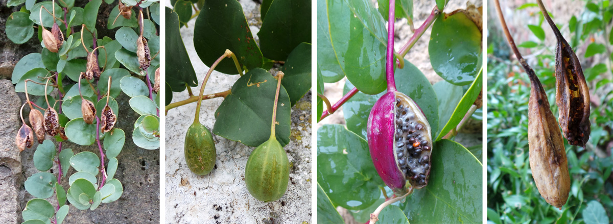 The flowers are followed by oblong fruits (L and LC) that eventually burst to reveal numerous black seeds (LC) before drying out (R).