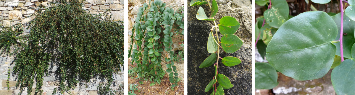 The sprawling plants (L) have many stems (LC and RC) covered with thick, fleshy rounded alternate leaves (R).
