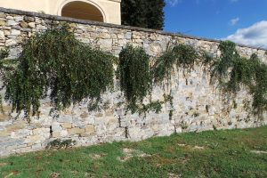 Caper plants growing wild in a stone wall in Tuscany.