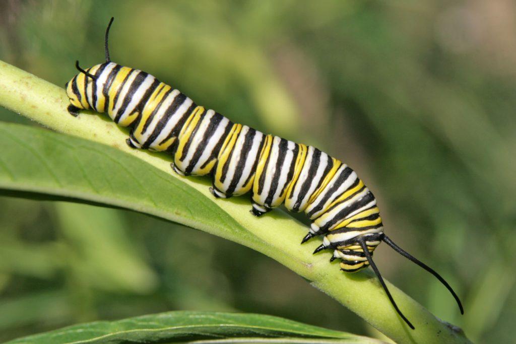 monarch-larva1