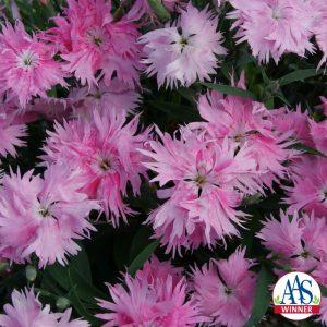 Dianthus 'Supra Pink'