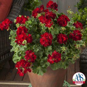 Geranium Calliope® Medium Dark Red