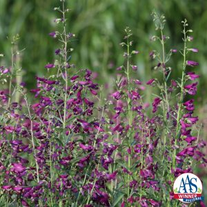 Penstemon barbatus Twizzle Purple